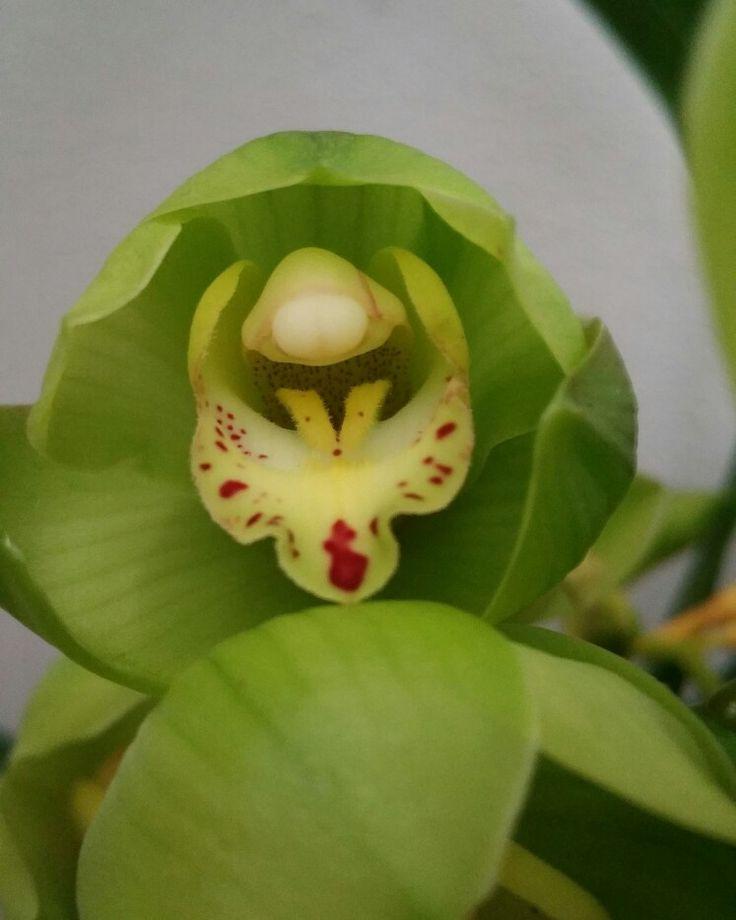 Cymbiudium verde, che spettacolo!  12.11.16
