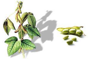 Noticias de Salud y Belleza  Las semillas de soja han formado parte de la dieta de los seres humanos desde hace miles de años.    Fuente original del artículo: La Soja, una legumbre con muchas proteínas y beneficios