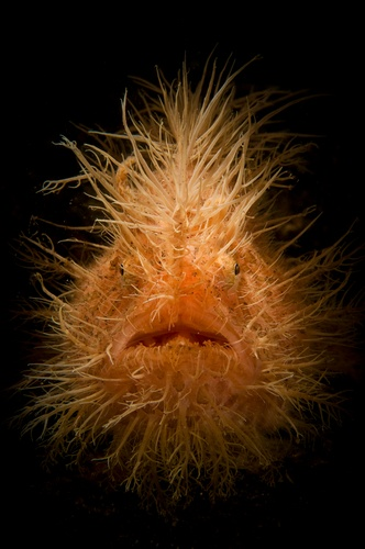 """Portrait of the Hairy Frogfish. Lembeh, Indonesia by Selmeczi Daniel: Hairy Frogfish (Antennarius striatus) are found in subtropical oceans and are also found in weedy estuaries along the east coast of southern Africa. Frogfish do not swim in the conventional way; instead, they """"walk"""" on their pectoral fins or use 'jet propulsion'. http://en.wikipedia.org/wiki/Striated_frogfish #Frogfish"""
