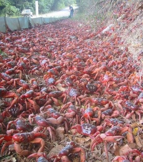 35 best images about Crabs, crab, crustacean, crustaceans ...