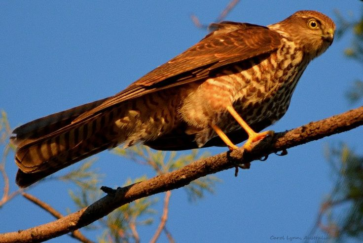 A hawk, surveying the countryside for food, pauses on a branch momentarily.