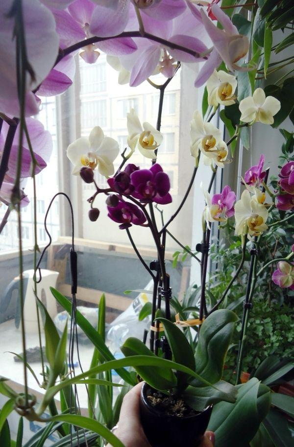 Орхидея фаленопсис. Почитать как правильно выбирать.