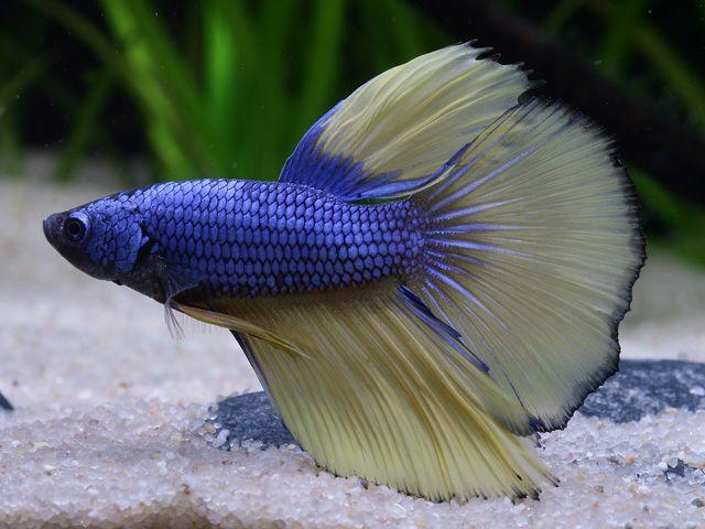 Betta splendens – Siamesischer Kampffisch