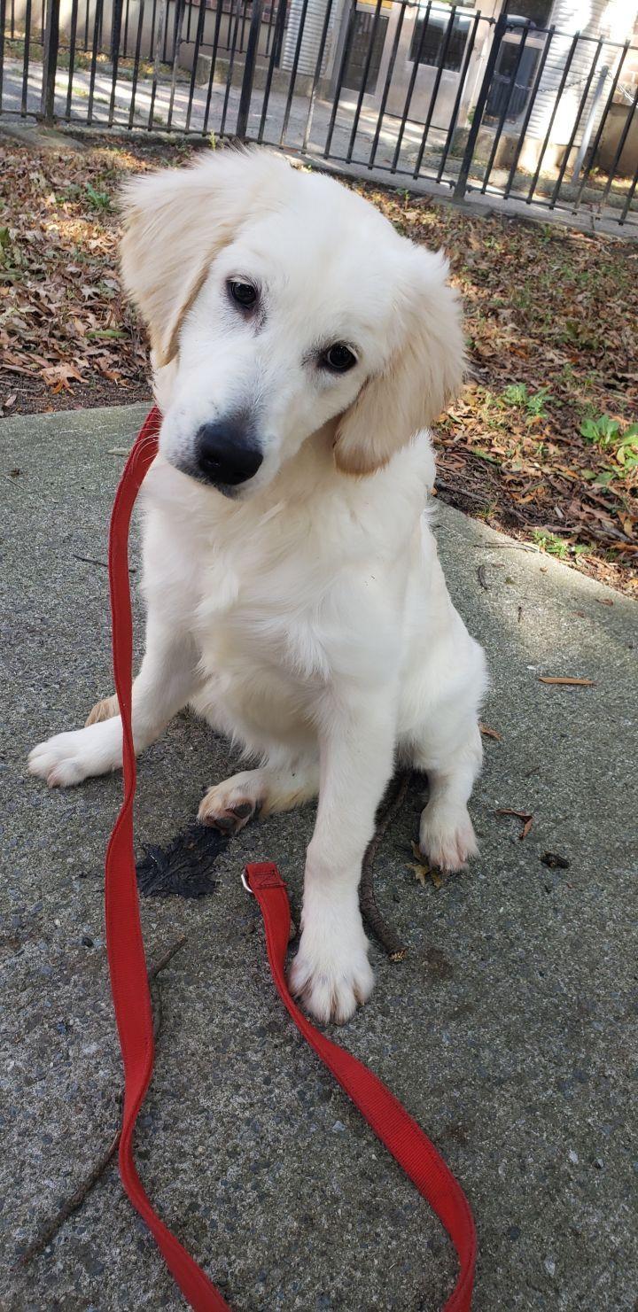 Adopt Mandy On Dogs Golden Retriever Pets Dogs