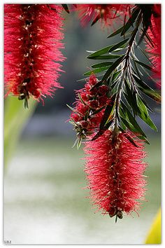Bottlebrush. native Australian flower. These go mental in the park next door, so am hoping they'll love my yard too.