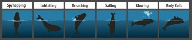 Southern right whale's diving behaviour