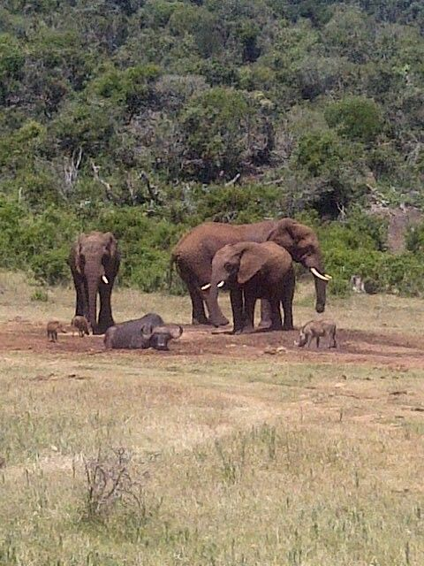 Another shot, elephant, buffalo & warthog - Addo Elephant Park