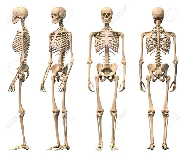 Male Human Skeleton, Four Views, Front, Back, Side And Perspective... Stock Photo, Picture And Royalty Free Image. Pic 11713071.