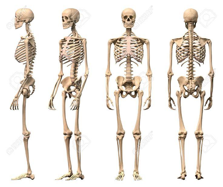 best 20+ human skeleton 3d ideas on pinterest | human skeleton, Skeleton