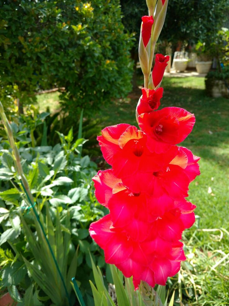 """Gladioli from the Latin word """"gladius"""" meaning sword,symbolizing strength, moral and integrity."""