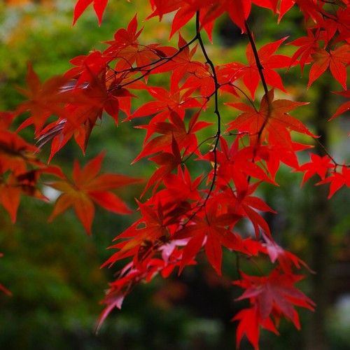 Red Maple Tree Seeds (ACER rubrum) 15+Seeds