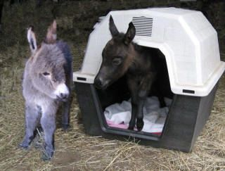 Miniature Donkey and mule foals in a dogloo.  Too cute!