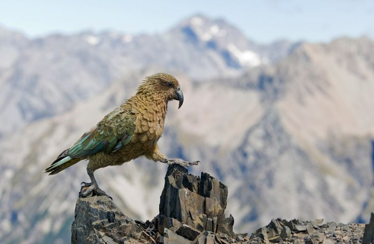 "Kea  Nestor notabilis ""Another victim of settlers"""