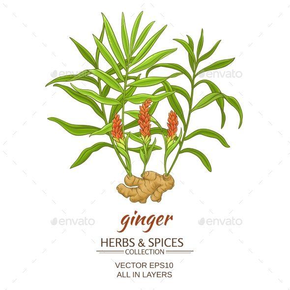 Ginger Vector Illustration Ginger Plant Plant Vector Plant Illustration