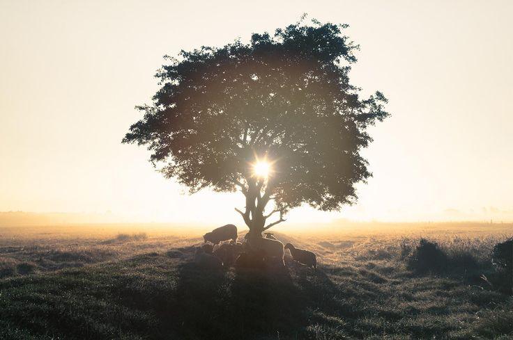 Ovis Aries - Sheep in the morning sun [1600x1065][OC]