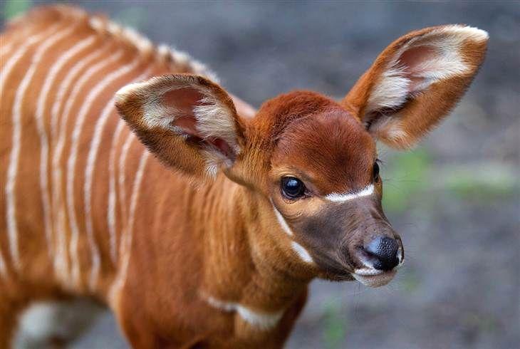 baby Bongo Antelope | Africa | Pinterest | Animals, Babies ...