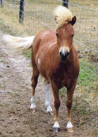 Pinto Filly