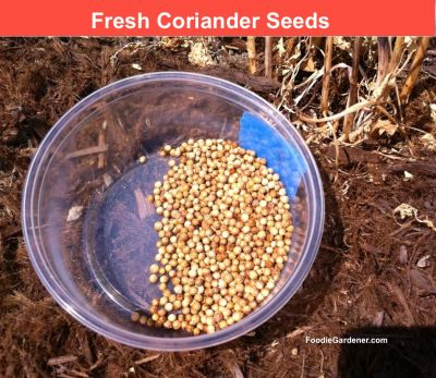 Did you know that coriander seeds comefrom cilantro plants? This is one of my favorite plant facts to share with new gardeners because I almost always get a surprised reaction from them! Actually,...