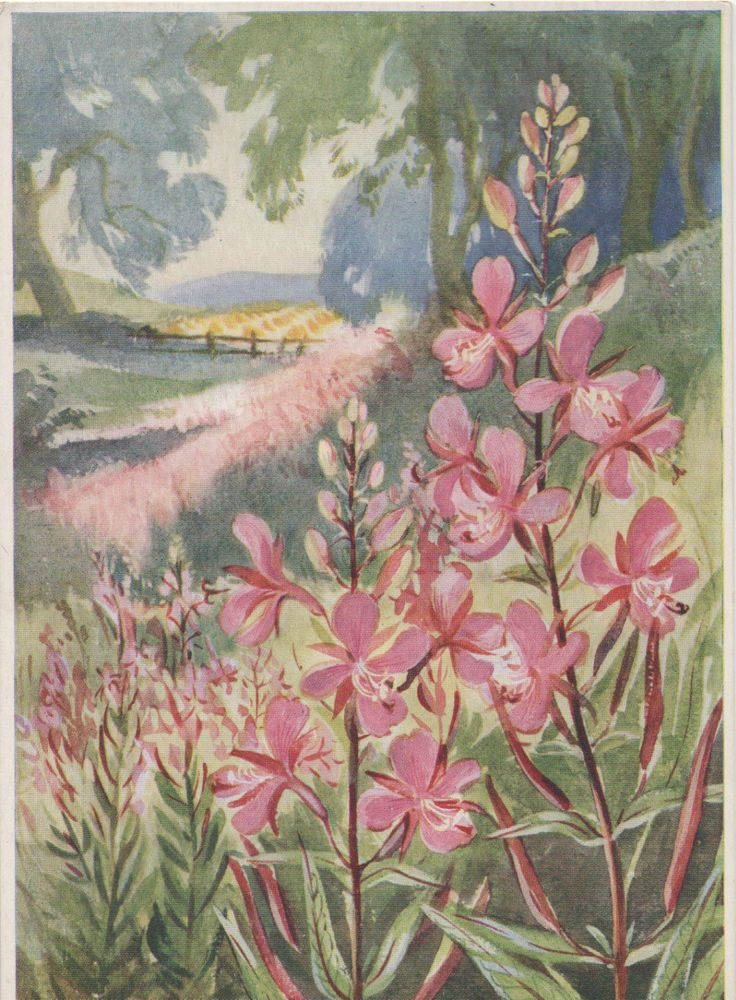EILEEN SOPER ROSE BAY WILLOWHERB MEDICI WILD FLOWER ARTIST SIGNED POSTCARD