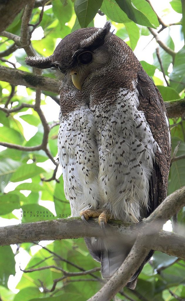 Barred Eagle Owl, Singapore - by BenzQuek