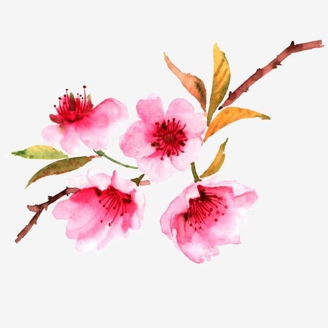 Peach Blossom Cherry Blossoms Pink Flower Flower Cherry Blossom Clipart Peach Blossom Floral Pattern Png Transparent Clipart Image And Psd File For Free Down Cherry Blossom Petals Loose Watercolor Flowers Peach
