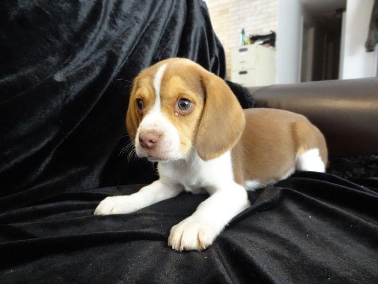 Best 25+ Beagles for sale ideas on Pinterest | Beagle dogs ...