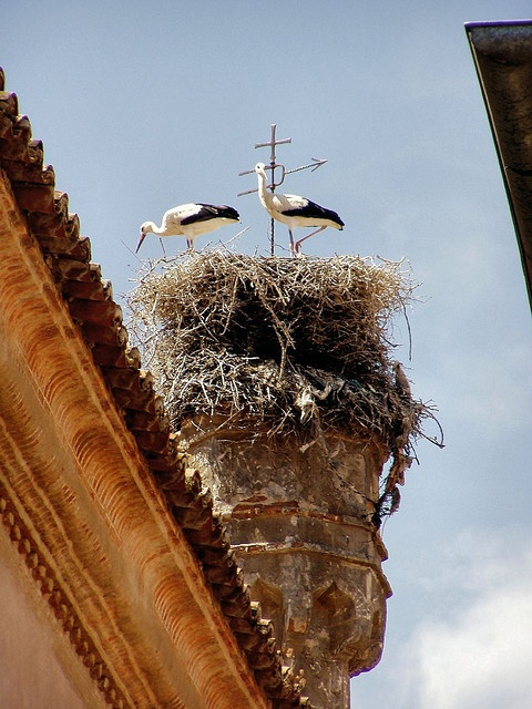 Storks in Plasencia, Spain... This reminds me of the wonderful book, The Wheel on the School by M. Dejong