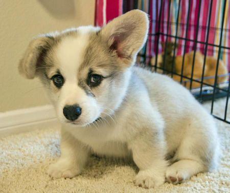 corgi miniature puppies   winston-the-pembroke-welsh-corgi-2_68071_2012-10-01_w450