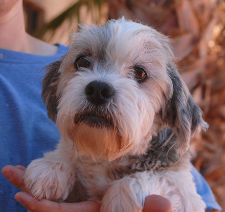 Gigi, a remarkably kind and calm-natured girl, debuts for adoption today at Nevada SPCA (www.nevadaspca.org).  She is a Terry-Poo (Terrier & Poodle mix), about 8 years of age, spayed, great with other dogs, and housetrained.  Gigi is recovering well from neglect.  She was at another shelter that asked for our help.  Gigi had reportedly been surrendered there because she bit someone who tried petting her while she was having a nightmare.