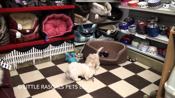 Little Rascals Uk breeders Cavapoo and Shichon playtimes - Puppies for S...