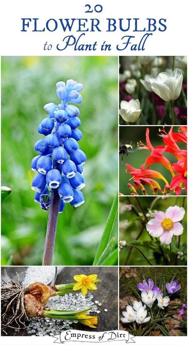 20 Flower Bulbs To Plant In Fall Bulb Flowers Fall Bulb Planting Summer Flowers Garden