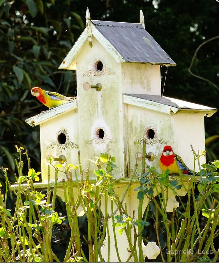 A pair of Rosella's checking out the birdhouse for nesting.  Every year they come and every year they are turned away.  They just can't fit through the door!