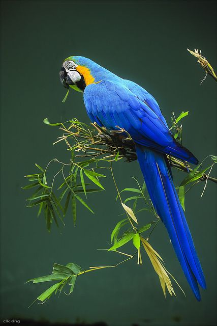 Blue Parrot [ EXPLORED ] by -clicking-, via Flickr