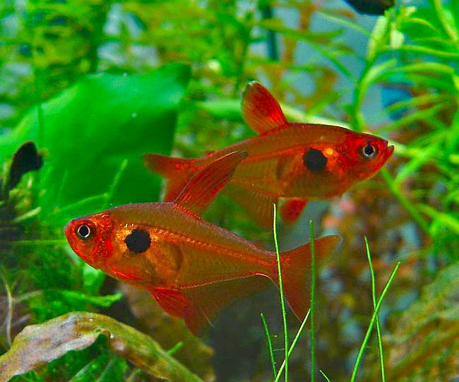 85 best images about tetra fish on pinterest neon south for Tetra acquario