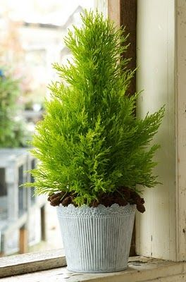 Lemon cypress tree--delightful lemon scent when you rub the foliage.  Great small evergreen for a pot indoors or, out.  Hardy zones 1-11.  Available at Lowe's...