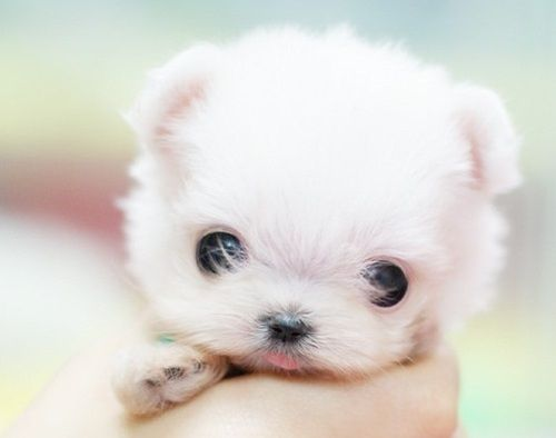 Cute Animal, Dogs, Little Puppies, Pets, Baby Animal, Cutest Puppies, Baby Puppies, Tiny Puppies, Adorable Animal