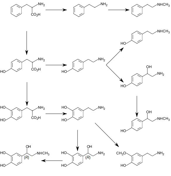 Graphic of trace amine and catecholamine metabolism