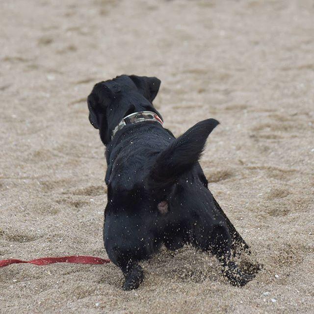 【lab_izu_love】さんのInstagramをピンしています。 《・2017.01.20. 待てー! - - - #ラブラドール#ラブラドールレトリバー#黒ラブ#いぬ#犬#lab#labrador#labradorretriever#labradors#labstagram#instalab#labsofinstagram#doglove#dogsofig#blacklab#dog#pets#cute#animal#puppy#doglover#Labrador_feature#thelablo