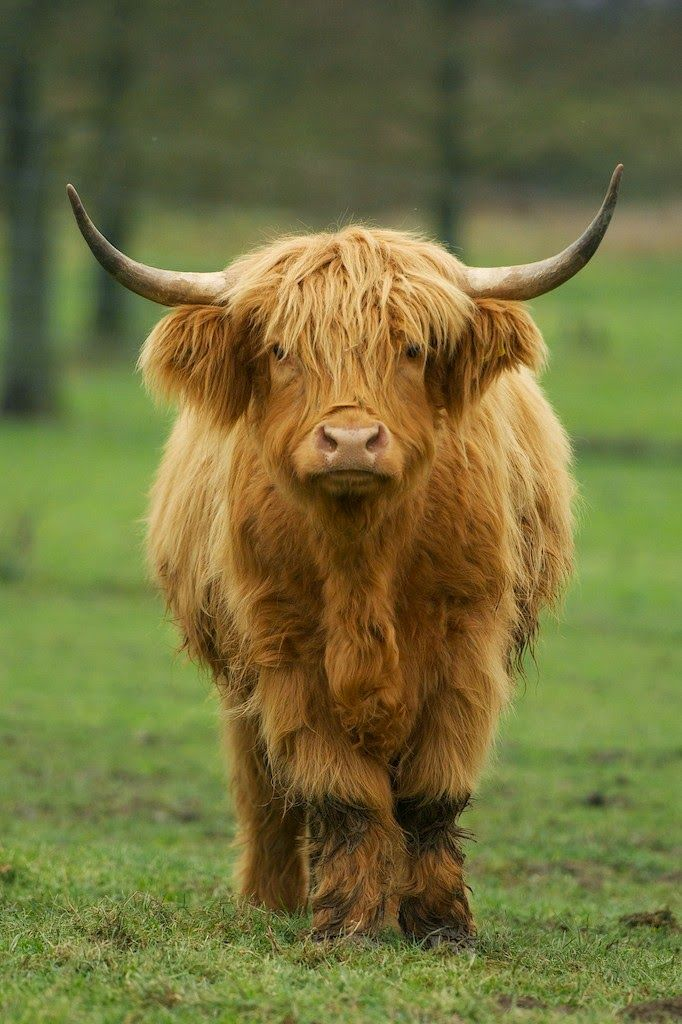 This is the adult the the marshmallow cows you found. They are highland cows and stay VERY small!