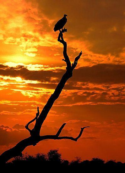 Vulture at Sunset, Kruger National Park,  South Africa.