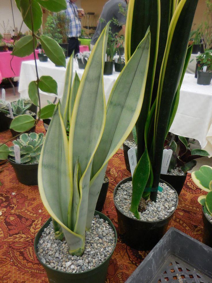 Sansevieria trifasciata laurentii silver (Have)