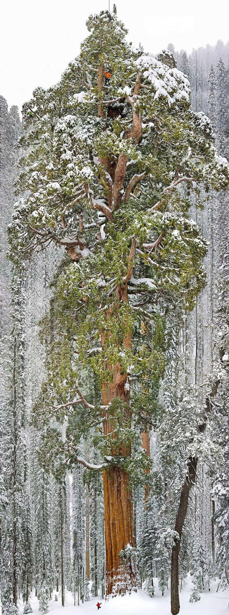 El tercer árbol más alto del mundo (una secuoya gigante), California.