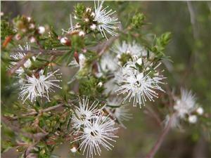 Kunzea Ambigua (Tick Bush)