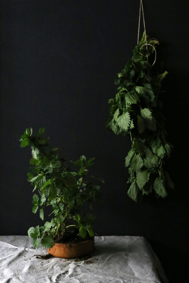 The Slowpoke: STINGING NETTLE // How to use this edible, nutritional and wild weed for health and cooking. #foraged #foraging #weeds #edible Photo: Emma Bowen