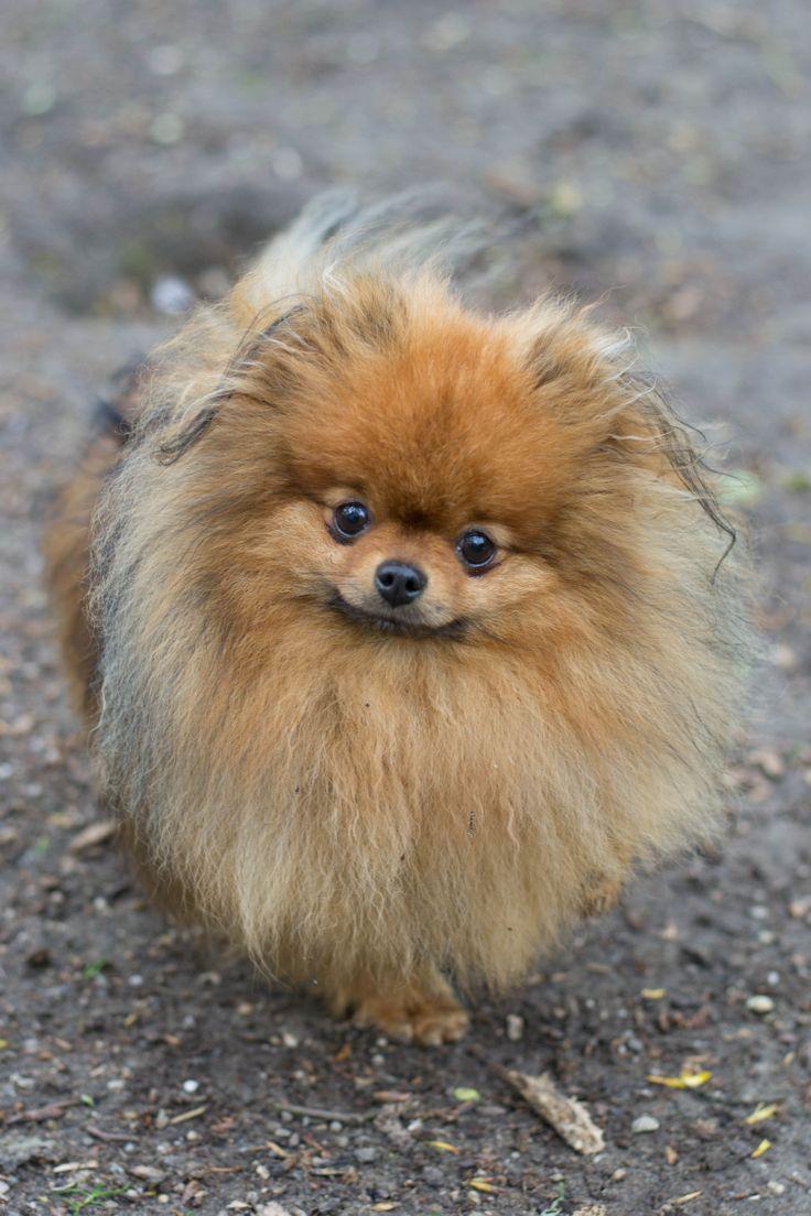 Pluis kleine hond