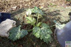 Chaque année, j'installe les courgettes sur le tas de compost de l'année passée. Résultat: les plants prennent rapidement de la place et produisent une belle quantité de fruits.