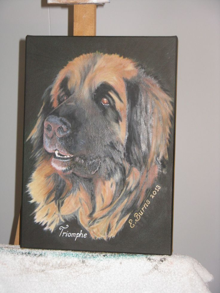 Triomphe, our beautiful French imported Leonberger, who became our first stud boy. Paint is still a bit wet in this photo.