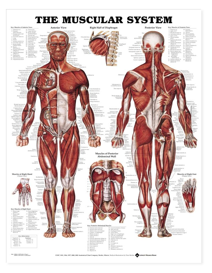 img_img_9781587790355_Muscular_System_chart_muscle_poster.jpg 1,166×1,500 pixels