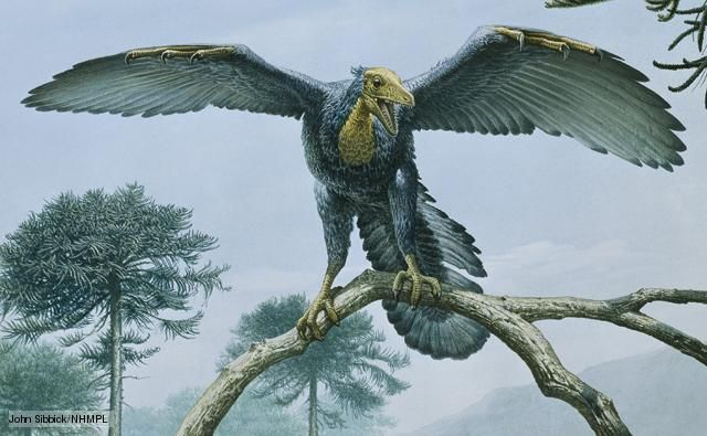 Archaeopteryx, a genus of bird-like dinosaurs that is transitional between non-avian feathered dinosaurs and modern birds - Late Jurassic, Germany