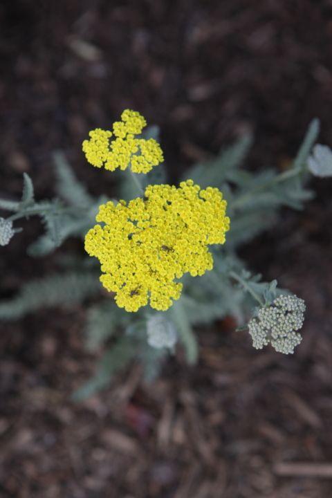 Coronation Yellow Yarrow #BloomingNow #CaliforniaNativePlants